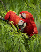 Scarlet macaw (Ara macao), pair munching on branches, Costa Rica, October