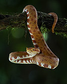 Eyelash Viper (Bothriechis schlegeli), orange morph, Costa Rica, February