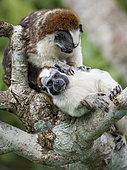 Geoffroy's Tamarin (Saguinus geoffroyi), two adults in mutual grooming, Gamboa, Panama, November