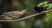 Clay-colored Thrush (Turdus grayi) confronting a male Scarlet-rumped Tanager (Ramphocelus passerinii) over food, Pital, Costa Rica