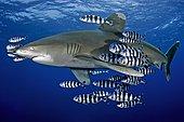 Whitetip Oceanic Shark (Carcharhinus Longimanus) with Swarm Pilot Fish (Naucrates ductor), Brother Islands, Egypt, Africa