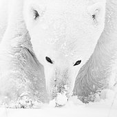 Polar bear (Ursus maritimus), male smells the snow, closeup, West Hudson Bay, Churchill, Manitoba, Canada, North America