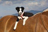 Border Collie, puppy, on horseback, North Tyrol, Austria, Europe