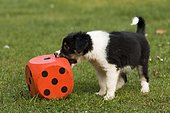 Border collie, tricolor, puppy biting into a red foam cube