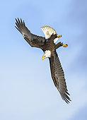 Bald Eagle (Haliaeetus leucocephalus) flying, Alaska, USA