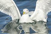 Glaucous-winged Gull (Larus glaucescens), Alaska, USA