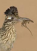 Greater Roadrunner (Geococcyx californianus) with lizard prey in its beak, Arizona, USA