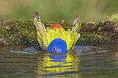 Painted Bunting (Passerina ciris) male bathing, Texas, USA