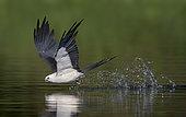 Swallow-tailed Kite (Elanoides forficatus) drinking in flight, Florida, USA