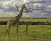 Masai Giraffe (Giraffa camelopardalis tippelskirchi) adult and young watching low-flying plane, Masai Mara, Kenya. The plane was coming into land at the airstrip near the Mara Intrepids camp.