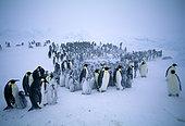 Emperor Penguins (Aptenodytes forsteri), young huddling together to form a creche to keep warm, during storm, Dawson Lambton Glacier, Weddell Sea, Antarctica