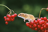 Harvest Mouse (Micromys minutus) on Guelder Rose, autumn, UK