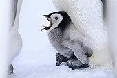 Emperor Penguins (Aptenodytes forsteri) chick being brooded, Weddell Sea, Antarctica