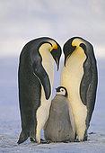 Emperor Penguin Aptenodytes fosterii pair with chick Weddell Sea Antarctica November