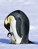 Emperor Penguin (Aptenodytes forsteri), Cape Crozier, Ross Sea, Antarctica