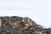 European Otter (Lutra lutra) 3mth old cubs Shetland April