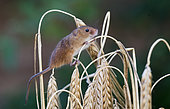 Harvest Mouse (Micromys minutus) on Barley Norfolk July