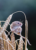 Harvest Mouse Micromys minutus on Barley Norfolk July