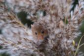 Harvest Mouse (Micromys minutus) Norfolk UK autumn