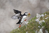 Atlantic Puffin Fratercula arctica with nest material Hermaness NNR Unst Shetland