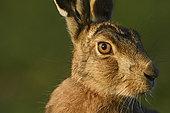 Brown Hare (Lepus europaea) in farmland Norfolk UK