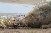 Grey Seal pup (Halichoerus grypus) less than 1 hour old being tended by mother Donna Nook Lincolnshire