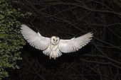 Barn Ow,( Tyto alba) hunting at night North Norfolk May