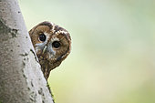 Tawny Owl Strix aluco, Oxfordshire autumn