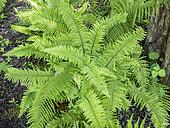 Polystichum setiferum 'Cristato-gracile'