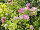 Hydrangea macrophylla 'Vespa'