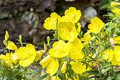 Oenothera fructicosa 'Youngii'