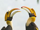 Couple de Calaos bicornes (Buceros bicornis) en parade, Darjeeling, Inde