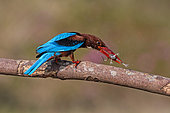 White-throated Kingfisher (Halcyon smyrnensis) perched on a branch with frog prey in beak, Malaysia