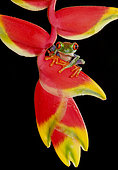 Red-eyed Tree Frog (Agalychnis callidryas) sitting on Heliconia flower (Heliconia spec.), Costa Rica