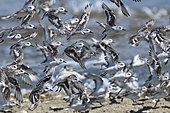 Bécasseaux sanderling (Calidris alba) en migration, Estuaire de la Loire, France