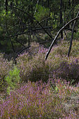 Austrian pine (Pinus nigra) forest with Heather (Calluna vulgaris) in the ocher quarries of Mormoiron, Mont Ventoux, Provence, France