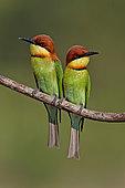 Deux Guêpiers de Leschenault (Merops leschenaulti) côte à côte sur une branche, Malaisie