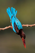 White-throated Kingfisher (Halcyon smyrnensis), Malaysia