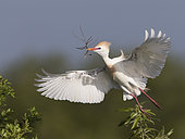 Western Cattle Egret (Bubulcus ibis) male flying with nesting material in beak, Florida, USA