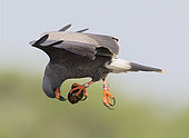 Snail Kite (Rostrhamus sociabilis) male flying with snail in its claws, Florida, USA