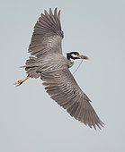 Yellow-crowned Night Heron (Nyctanassa violacea) male flying, Florida, USA