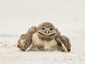 Burrowing Owl (Athene cunicularia) sand bathing, Florida, USA