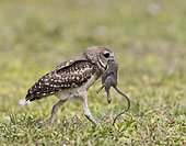 Burrowing Owl (Athene cunicularia) with captured mouse in its beak, Florida, USA
