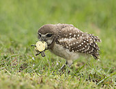 Burrowing Owl (Athene cunicularia) with captured turtle in its beak, Florida, USA