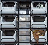 Eurasian Wren (Troglodytes troglodytes) raising offspring in a toolbox in a car service station, Rhineland-Palatinate, Germany