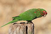 Mitred parakeet (Psittacara mitratus)