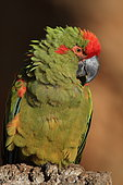 Red fronted macaw (Ara rubrogenys)