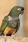 Burrowing Parrot (Cyanoliseus patagonus bloxami)