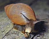 Euglandine (Euglandina rosea), USA