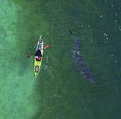 Aerial view of Basking shark, Cetorhinus maximus, and kayak. is the second-largest living shark, after the whale shark, and one of three plankton-eating shark species, along with the whale shark. Adults typically reach 6–8 m (20–26 ft) in length. The gill rakers, dark and bristle-like, are used to catch plankton as water filters through the mouth and over the gills. Despite their large size and threatening appearance, basking sharks are not aggressive and are harmless to humans. The basking shark has long been a commercially important fish, as a source of food, shark fin, animal feed, and shark liver oil. Overexploitation has reduced its populations to the point where some have disappeared and others need protection England